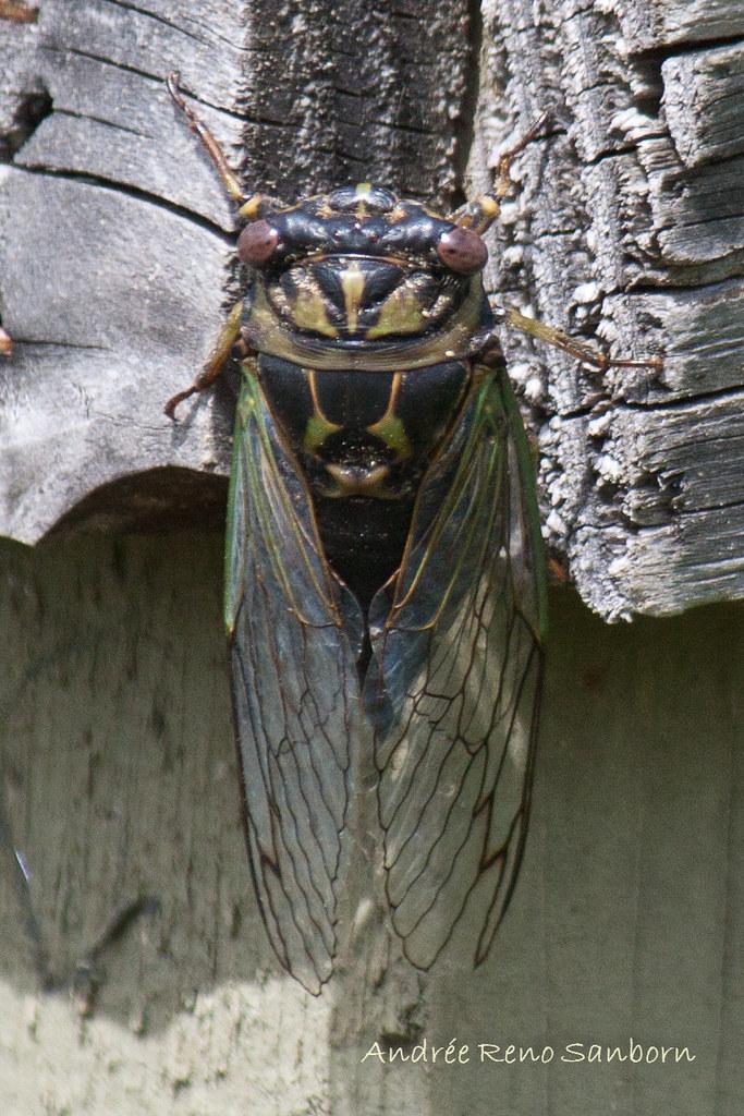 Dog-day Cicada (Tibicen canicularis)-1.jpg