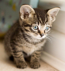 animal, kitten, tabby cat, toyger, small to medium-sized cats, pet, european shorthair, pixie-bob, fauna, close-up, cat, wild cat, carnivoran, whiskers, ocicat, domestic short-haired cat,