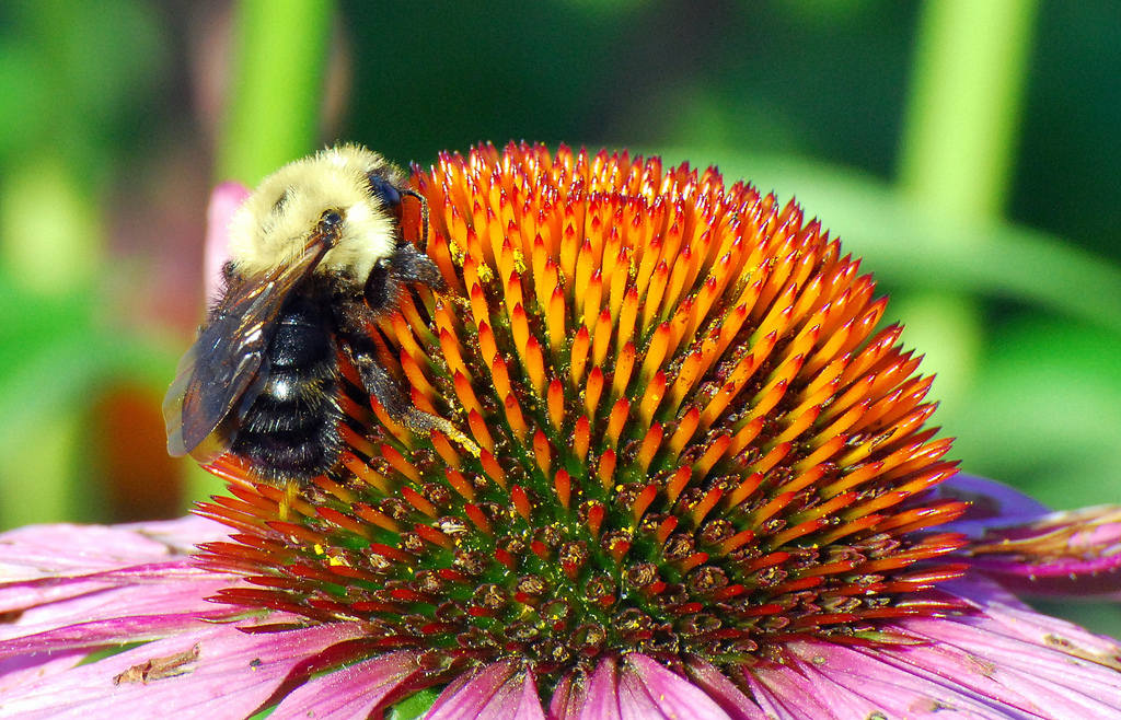 Alighting on Echinacea