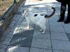 Blue eye, yellow eye, white cat