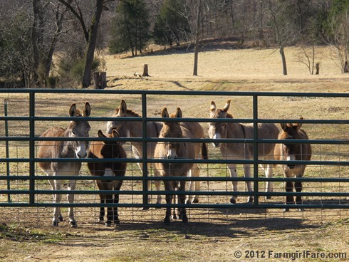 Six starving donkeys - FarmgirlFare.com