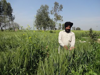 Ajaib Singh at his farm in Bhawanigarh.
