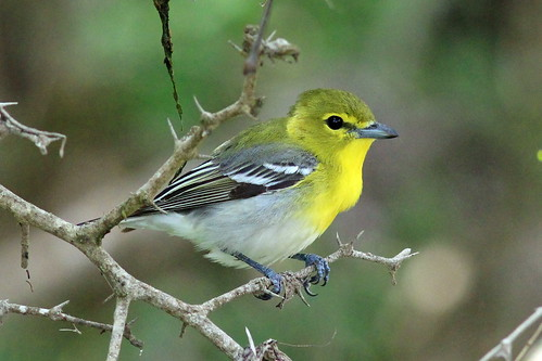 Yellow-throated Vireo SPI 3-25-14 IMG_2489
