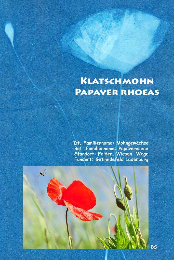 Cyanographie Blaudruck Sonnendruck Sunprint Mohn Klatschmohn zerbrechlich filigran