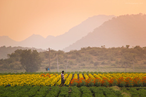 flowers sunset india mountains nature colors garden countryside village paddy flowerbed fields goldenhour mountainrange andhrapradesh guntur canon550d