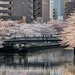 Full bloom cherry blossoms at Ohyokogawa River on Tomoebashi Bridge (大横川の桜と巴橋)