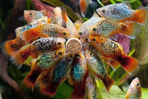 Vr djur vilka fiskar till 60l akvarium bukefalos for Poisson acoiriome