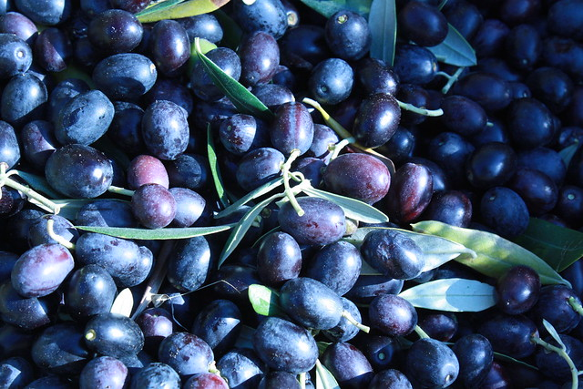 Freshly picked olives