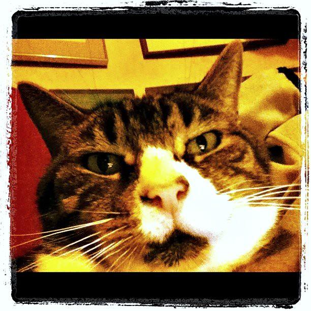 Gilbert the tabby cat