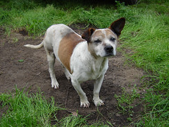 dog breed, animal, danish swedish farmdog, dog, street dog, mammal, parson russell terrier, jack russell terrier,