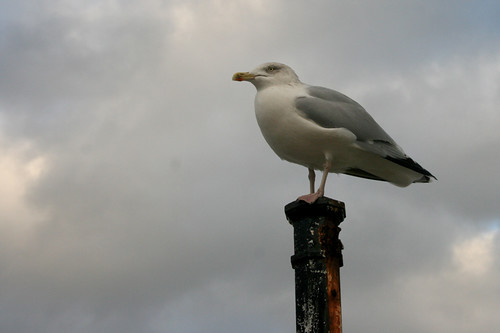 Seagull by driverchris