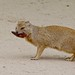 Yellow Mongoose - Photo (c) Bernard DUPONT, some rights reserved (CC BY-SA)