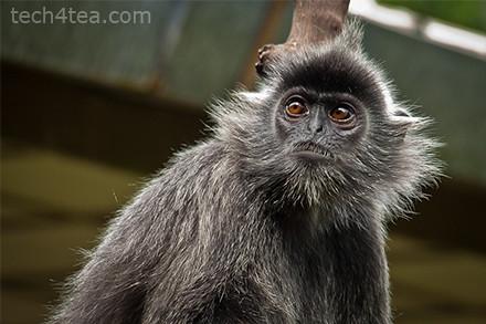 Silver leafed monkey.