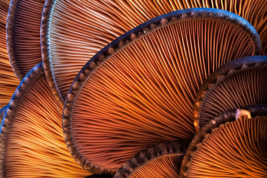 Oyster Mushroom Art by Martin Amm