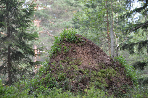 Blueberry Ant colony