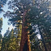 Giant Sequoia at Mariposa Grove