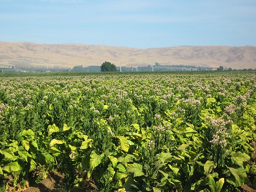 washingtonstate wapato yakimavalley tobaccofields tobaccofieldswashingtonstateyakimavalleywapato