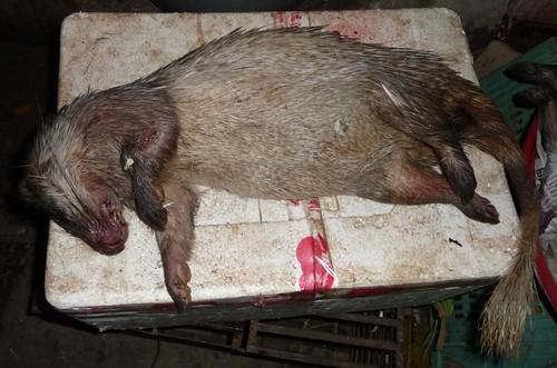 bushmeat porcupine