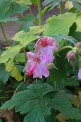 Pink geranium blooms in winter