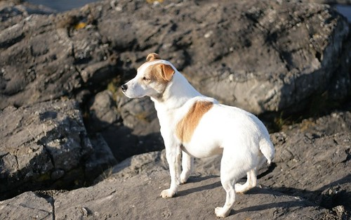 louis the jack russell dog