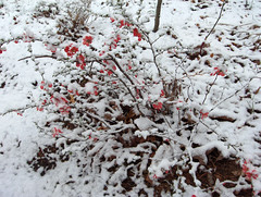 flowering quince in snow