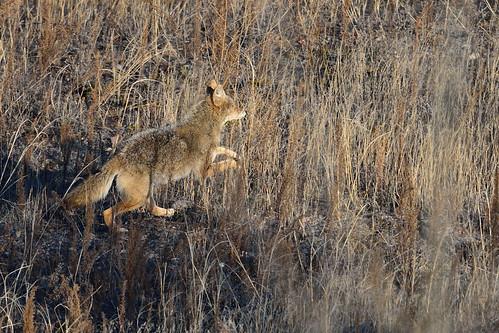 Coyote DSC_1600