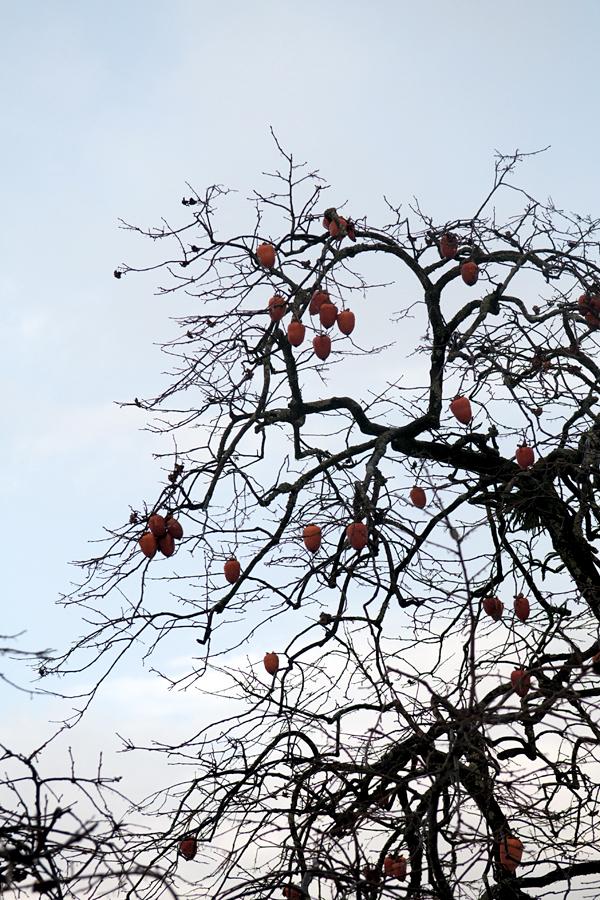 柿の木(陽が沈む前に)