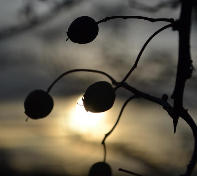 hawthorn eclipse