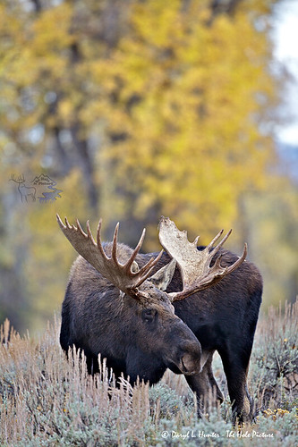 Bull Moose, Autumn Foliage