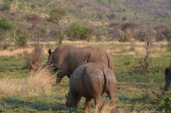 animal, prairie, wildebeest, plain, herd, grazing, rhinoceros, fauna, wilderness, savanna, grassland, safari, wildlife,