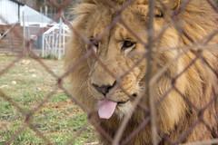 adventure(0.0), safari(0.0), animal(1.0), mane(1.0), big cats(1.0), masai lion(1.0), lion(1.0), zoo(1.0), mammal(1.0), fauna(1.0), whiskers(1.0), wildlife(1.0),