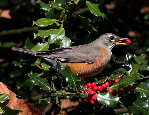 American Robin in Holly