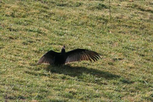 Vulture4Dec2011