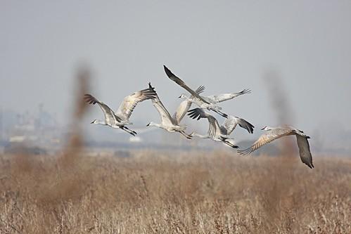1sandhill cranes dave harper oakley