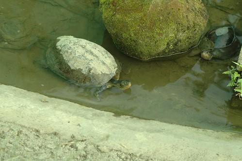 左邊為龜殼破裂的斑龜(特生中心林德恩提供)