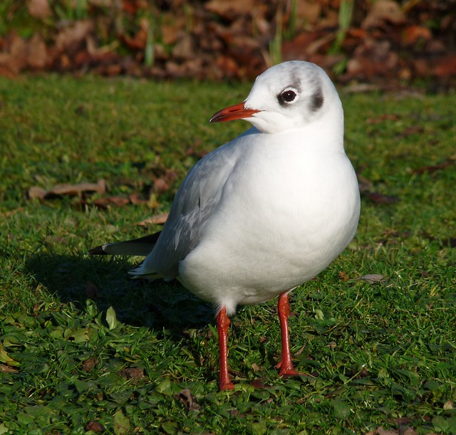 25474 - Black Headed Gull, Slimbridge