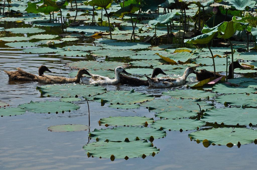 Ducks at Lotus Pond ...