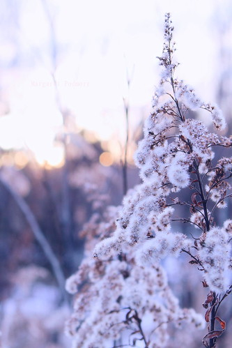 8:366 Winter weeds in an Arboretum sunset by M Pod