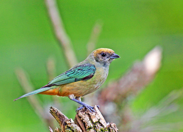 Saíra-amarela-fêmea - Burnished-buff Tanager-female (Tangara cayana)