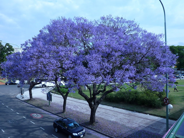 Jacarand flickr photo sharing for Arboles perennes en argentina