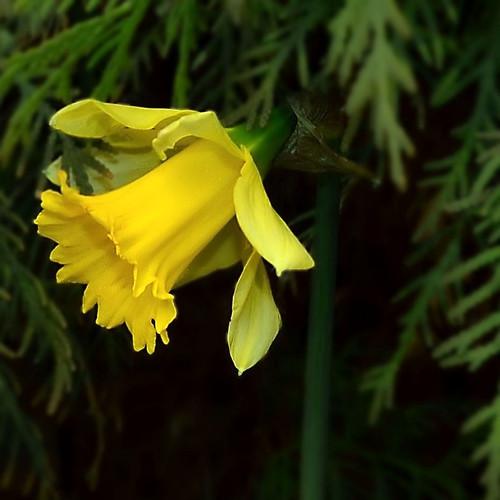 First daffodil 2012