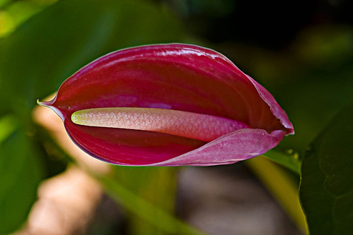 Anthurium | by Hafiz Issadeen