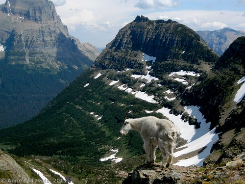 Mountain Goats along the Reynolds Mountain Trail, Glacier National Park, Montana