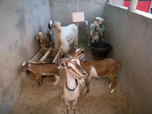 foreign goats