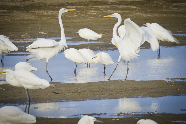 Great Egrets sparring
