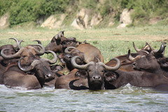 adventure(0.0), safari(0.0), cattle-like mammal(1.0), animal(1.0), water buffalo(1.0), wildebeest(1.0), mammal(1.0), herd(1.0), fauna(1.0), wildlife(1.0),