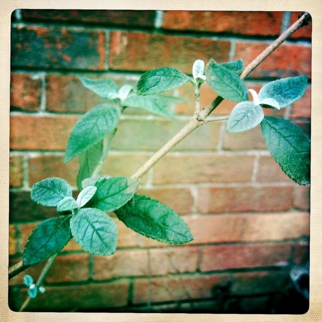 Butterfly Bush in January