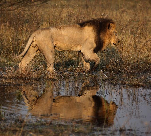 León en el Delta del Okavango, Botsuana.