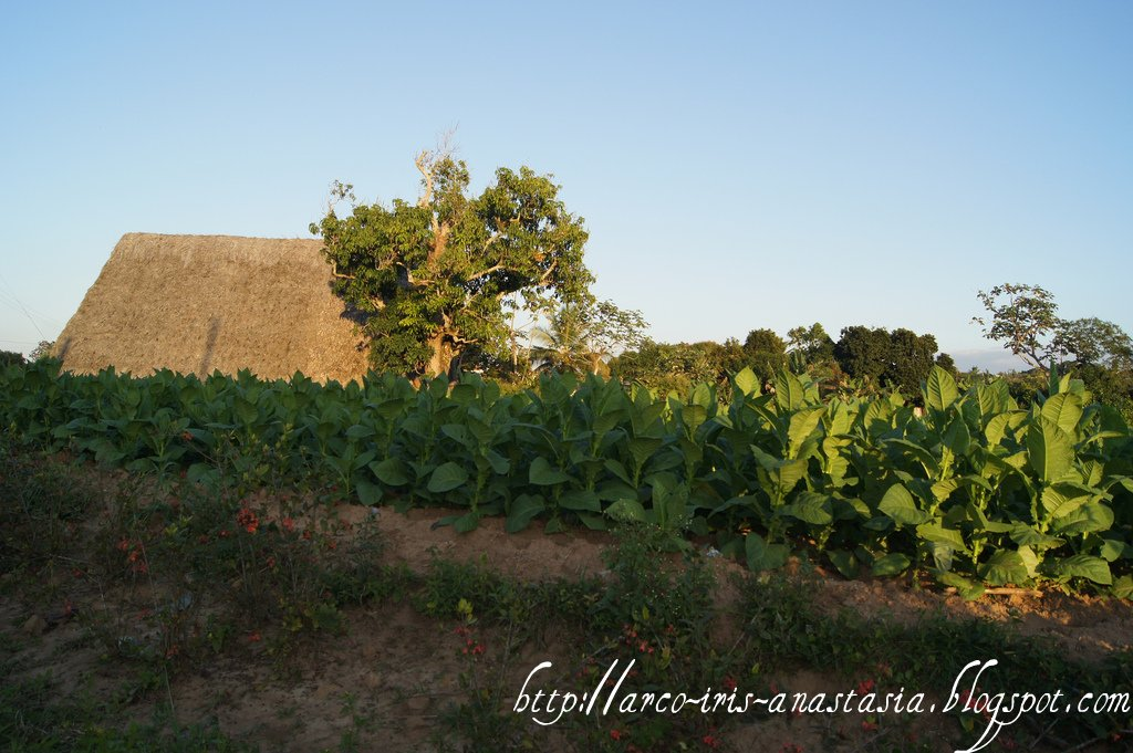 Tabacco fields in Vinales