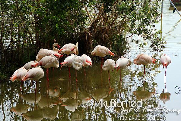 Sekawan bangau Zoo Melaka